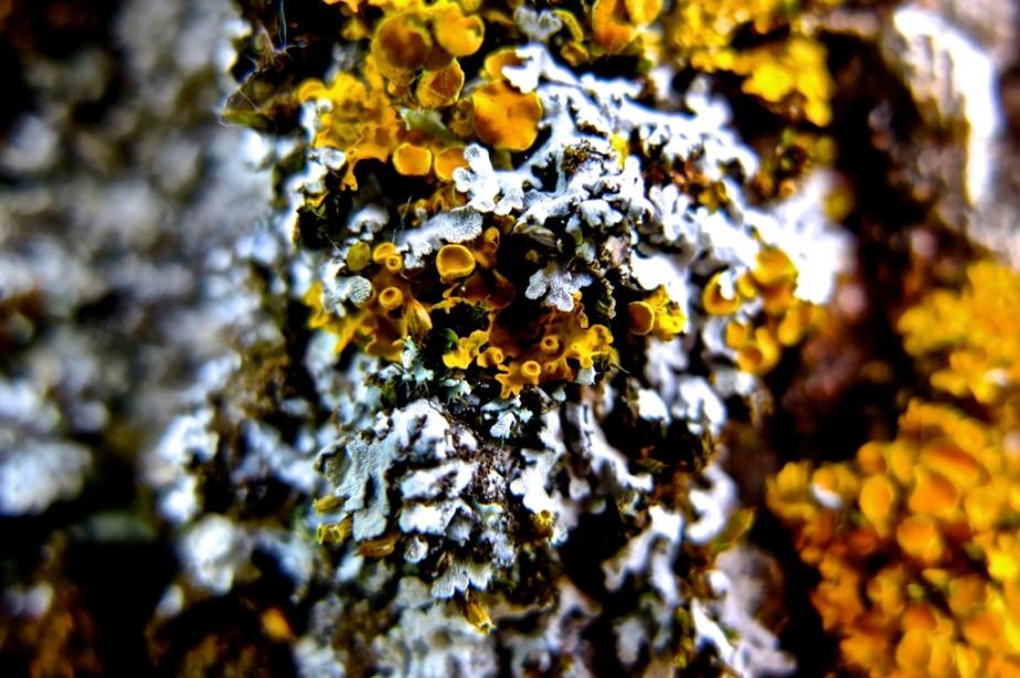 Lichene 2_xl